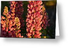 Hot Pink Lupines From My Mother's Garden Greeting Card