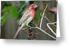 House Finch At Rest Greeting Card