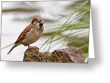 House Sparrow Passer Domesticus On The Perch Greeting Card