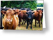 How Now Brown Cow Greeting Card