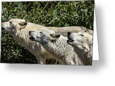 Howlin Artic Wolves Greeting Card