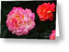 Huge Pink And White Rose...   # Greeting Card