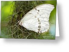 Huge White Morpho Butterfly Greeting Card
