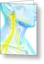 Human Spinal Cord Greeting Card