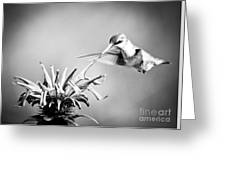 Hummingbird Black And White Greeting Card
