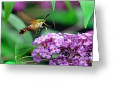 Hummingbird Clearwing Moth Greeting Card