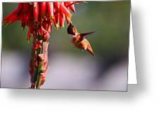 Hummingbird Feast  Greeting Card