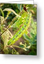 Hummingbird Moth Caterpillar Greeting Card