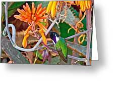 Hummingbird On Aloe In Living Desert In Palm Desert-california Greeting Card