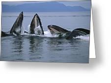Humpback Whales Gulp Feeding Southeast Greeting Card