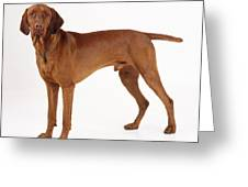 Hungarian Vizsla Dog Greeting Card