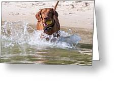Hungarian Vizsla With Ball At The Beach Greeting Card