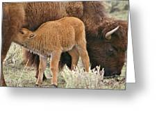 Hungry Baby Bison Greeting Card