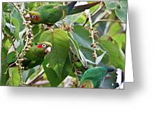 Hungry Chiriqui Conures Greeting Card