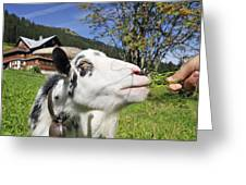 Hungry Goat Greeting Card by Matthias Hauser