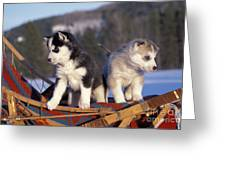 Huskies On A Sled Greeting Card
