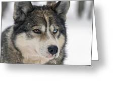 Husky Dog Breading Centre Greeting Card by Lilach Weiss