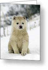 Husky Dog Puppy Greeting Card
