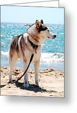 Husky On The Beach Greeting Card