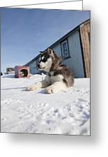 Husky Sled Dog Puppy Greeting Card