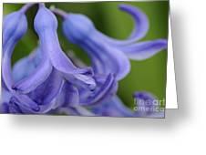 Hyacinth Closeup Greeting Card