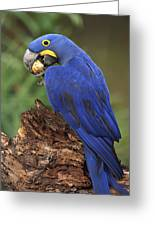 Hyacinth Macaw Eating Piassava Palm Nuts Greeting Card