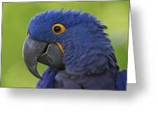 Hyacinth Macaw Portrait Greeting Card