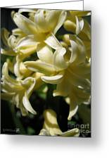 Hyacinth Named City Of Haarlem Greeting Card
