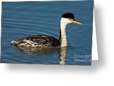 Hybrid Grebe Western X Clarks Greeting Card