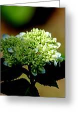 Hydrangea 4 Greeting Card