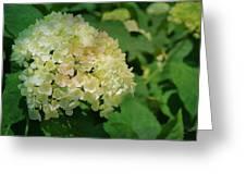 Hydrangea In Soft Light Greeting Card
