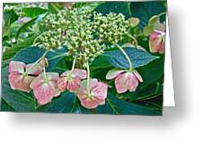 Hydrangea With A New Look Greeting Card