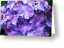 Hydrangeas  Greeting Card