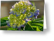Hydrangeas First Blush Greeting Card