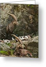Ibex Pictures 112 Greeting Card