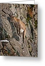 Ibex Pictures 151 Greeting Card