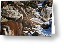 Ibex Pictures 160 Greeting Card