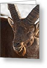 Ibex Pictures 169 Greeting Card