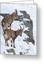 Ibex Pictures 171 Greeting Card