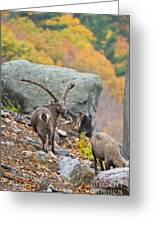 Ibex Pictures 174 Greeting Card