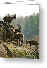 Ibex Pictures 176 Greeting Card