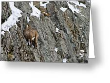 Ibex Pictures 183 Greeting Card