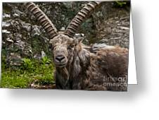 Ibex Pictures 190 Greeting Card