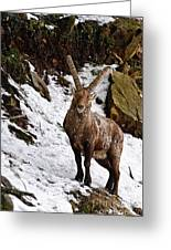 Ibex Pictures 22 Greeting Card