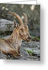 Ibex Pictures 38 Greeting Card