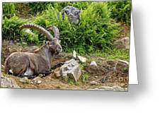 Ibex Pictures 64 Greeting Card