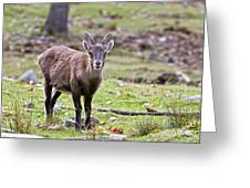 Ibex Pictures 71 Greeting Card