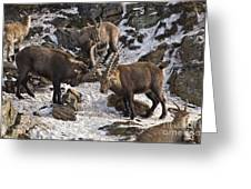 Ibex Pictures 83 Greeting Card