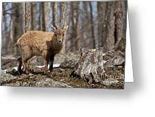 Ibex Pictures 92 Greeting Card