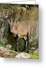 Ibex Pictures 115 Greeting Card